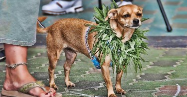 Pot for pets: Could medical marijuana help your dog?