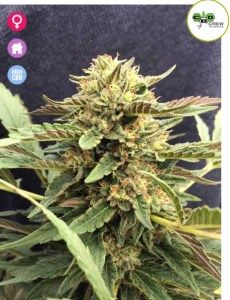 Therapy CBD seeds
