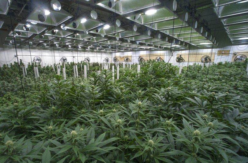 California Cannabis Cultivators are at Risk - CBD Testers