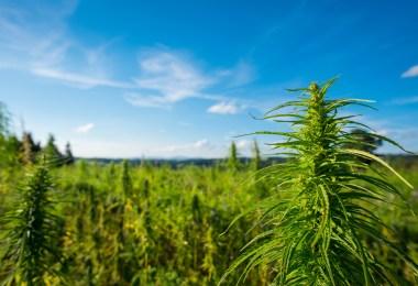 outdoor cannabis