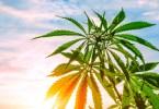 cannabis prescriptions u.k.