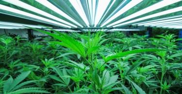 grow cannabis