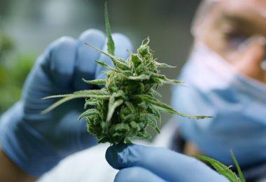 GMPs cannabis