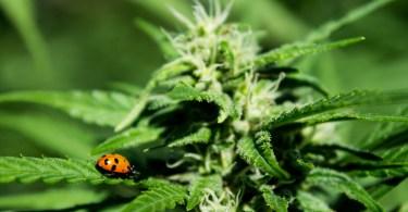 cannabis pesticides