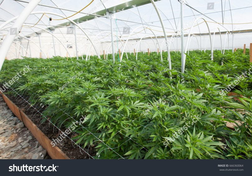 commercial cultivation