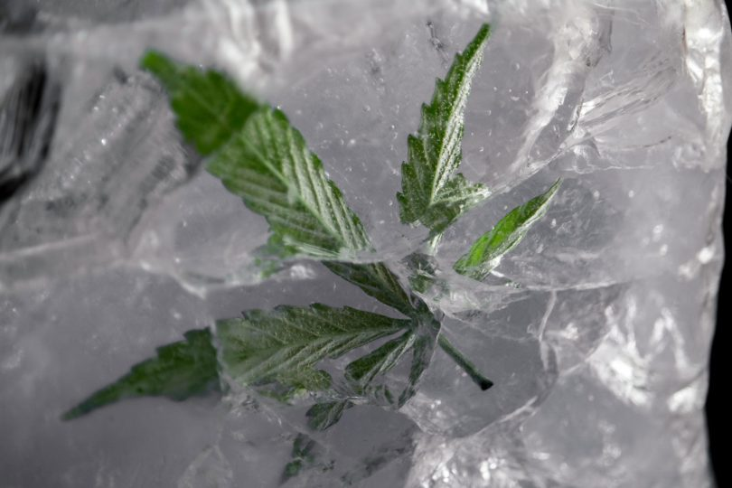 fresh frozen cannabis