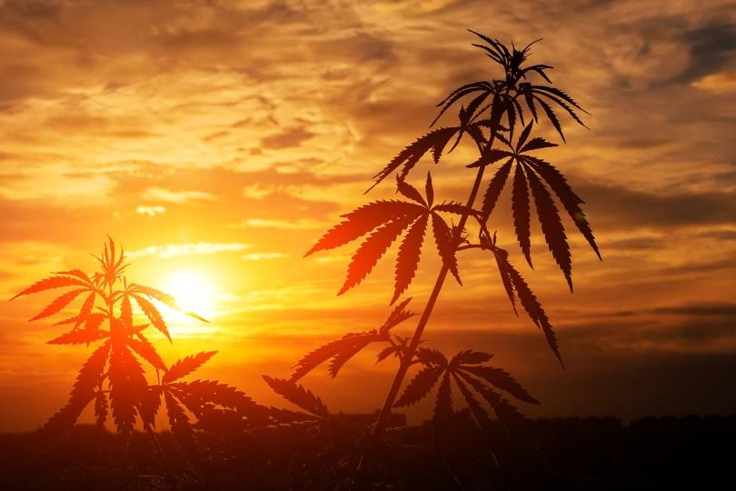 cannabis plants Mexico