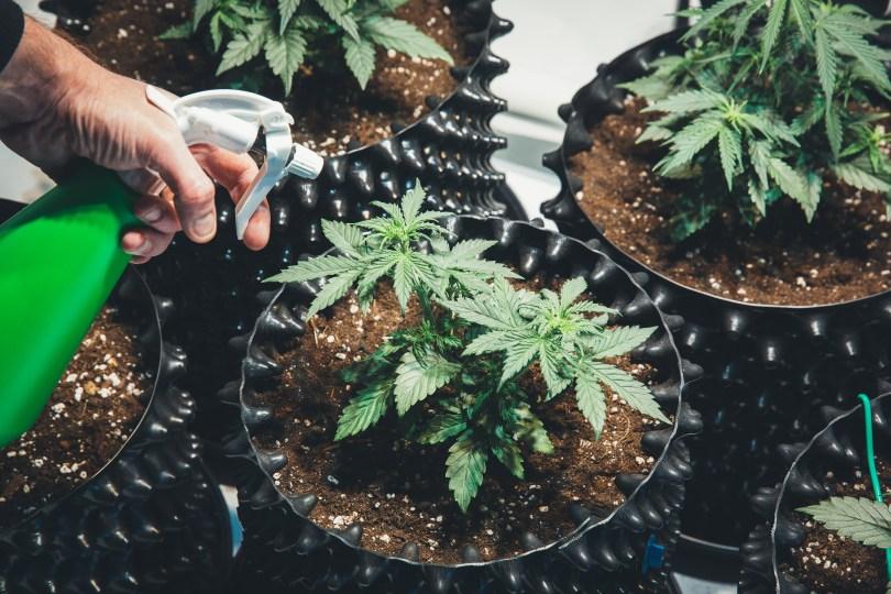 mycelium network grow cannabis