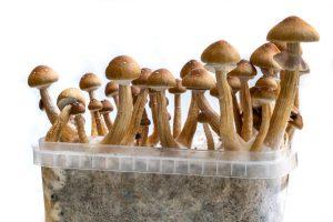 home grow mushrooms