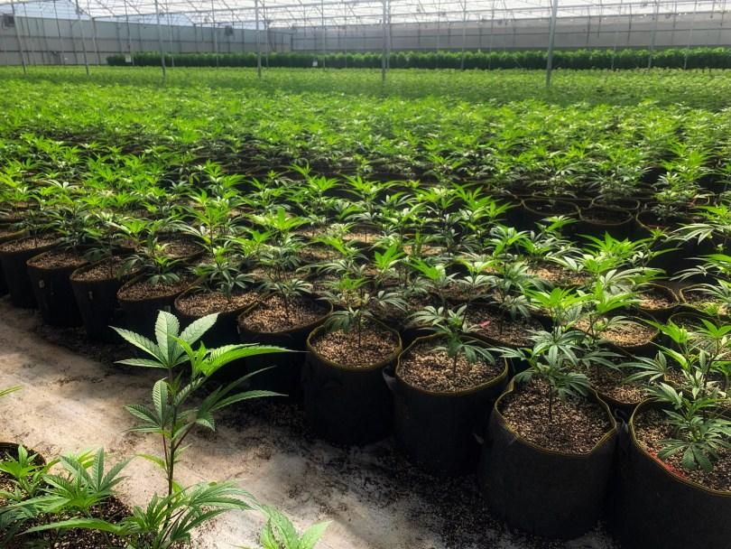 medical marijuana research