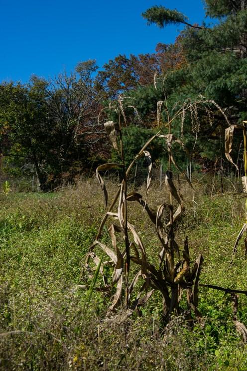 Corn stalks rs