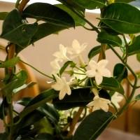 A Night of Jasmine Blooming