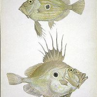 Cooking with Saint-Pierre (John Dory)