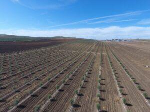 Plantacion de olivares intensivos