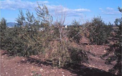 Verticillium o verticilosis del olivo