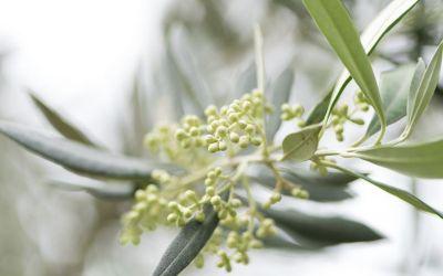 Cómo afecta el cambio climático al cultivo del olivar