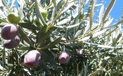 Andalucía inicia los trabajos para conseguir una colección internacional de aceite de oliva virgen extra
