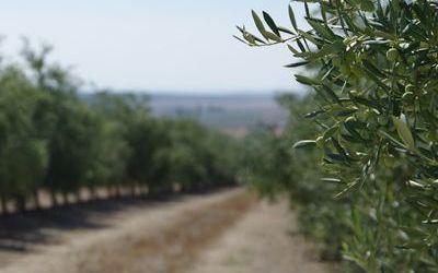 Ventajas del sistema de alta densidad en el olivar