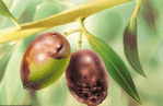 Aceituna Jabonosa