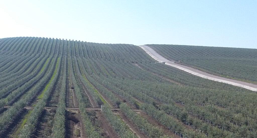 arbosana olivos