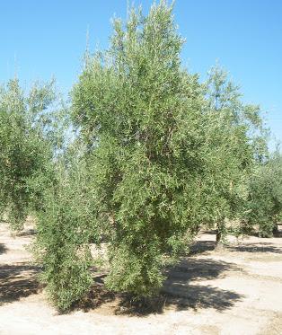 olivos cornicabra