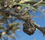 Tuberculosis del Olivo