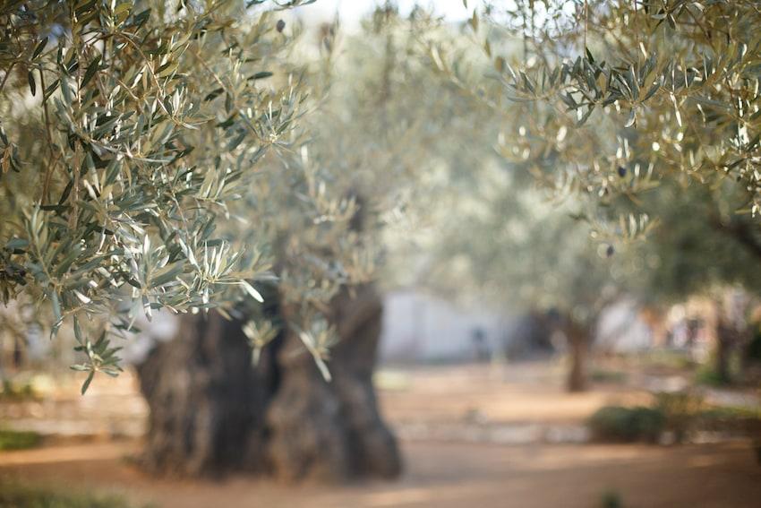 Abono olivo