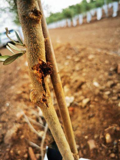 Euzophera o abichado del olivo