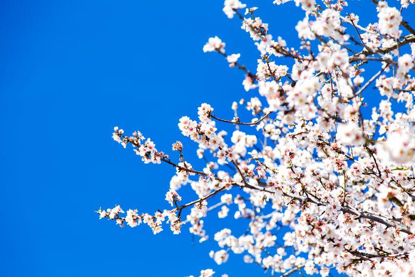 Cuándo florecen los almendros