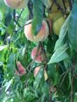 Pfirsiche / Peaches / Pëches