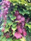 Wilder Wein / Wild grapes / Vigne vierge