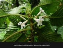 Guettarda-crispiflora