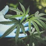 delta-8 hemp cannabis source