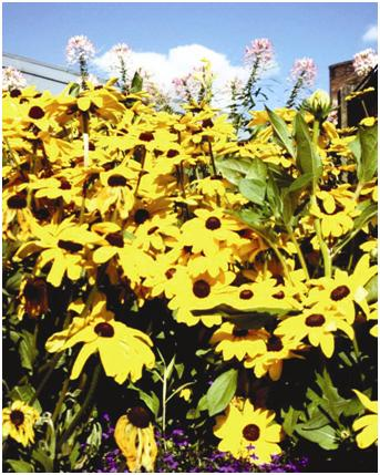 Photonasty (in sunflower)