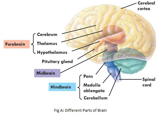 Brain -Fore Mid and Hind