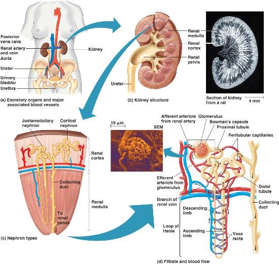 excretory system in Humans