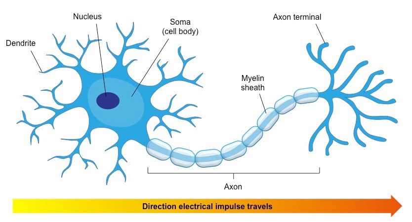 synaptic knobs are at the ends of
