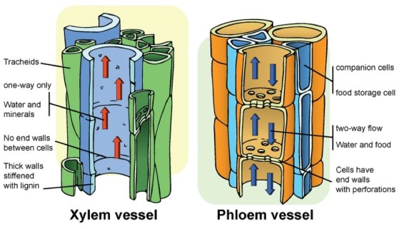 xylem and phloem2