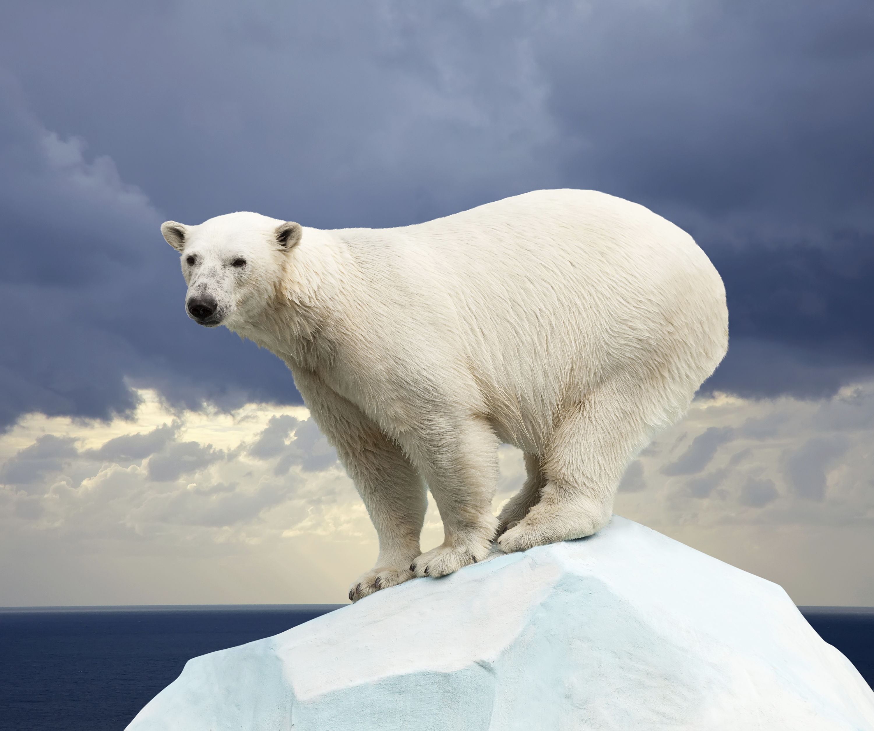 Can Polar Bears Survive Food Shortages Caused By Global
