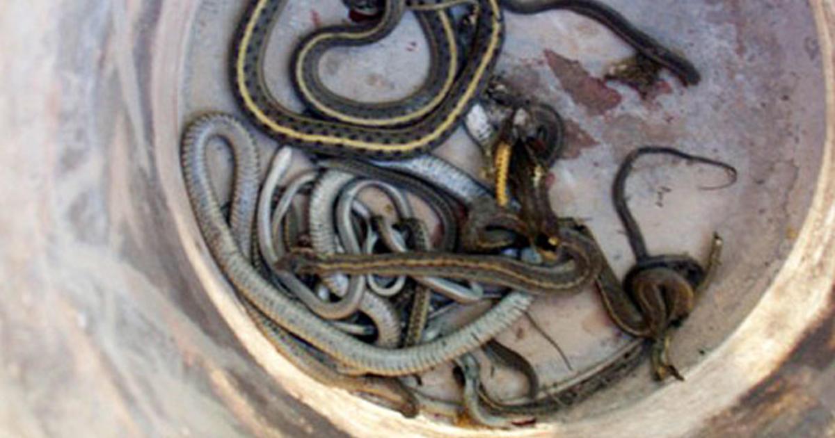 Idaho House Infested Snake