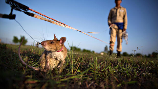 """""""HeroRATs"""" detect land mines and save lives"""