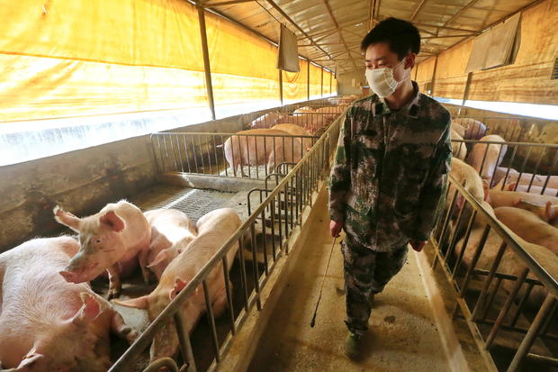 CHINA SUINING PIG FARMING