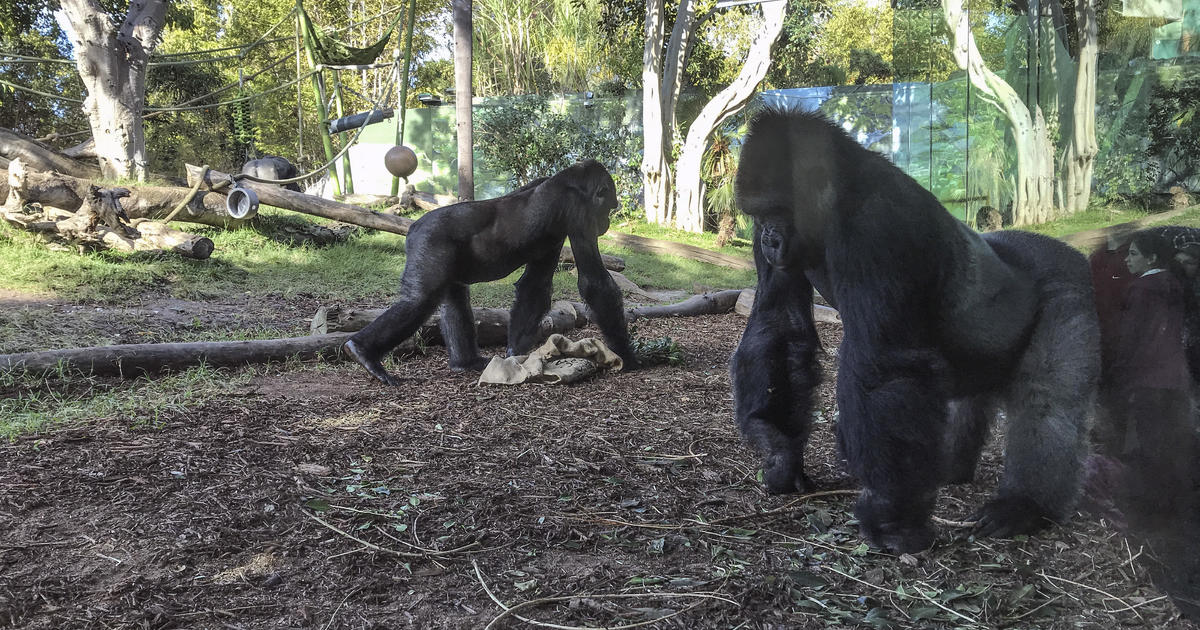 Gorillas at San Diego Zoo test positive for coronavirus- Covid-19
