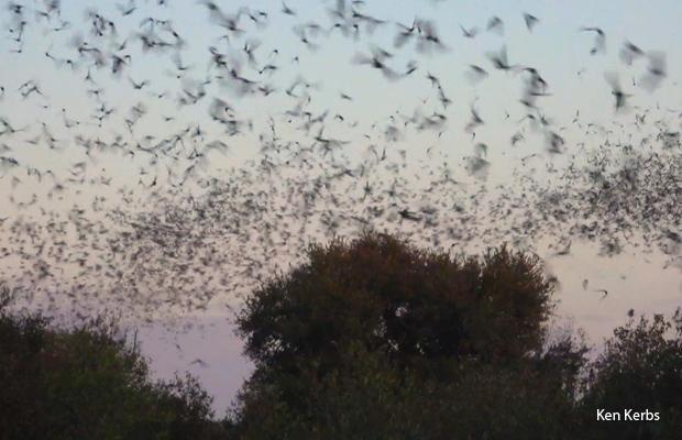 bat-swarm-ken-kerbs-a-620.jpg