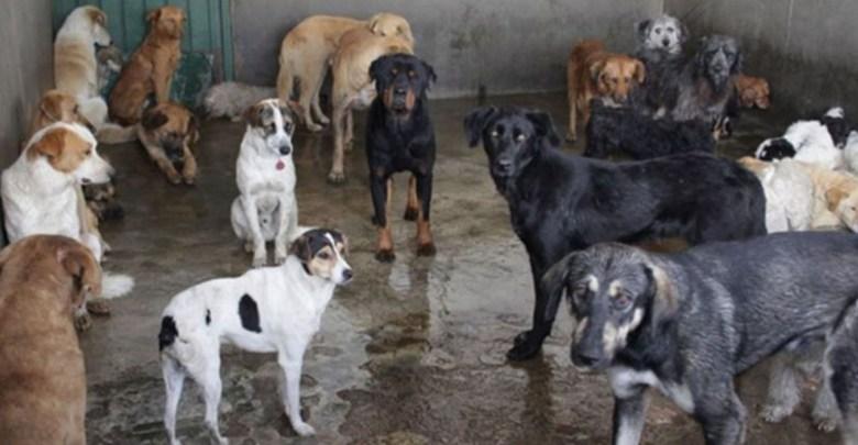 Pareja de abuelitos vivía con 73 perros que rescataron de la calle en Aguascalientes