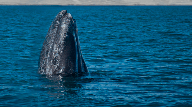 Conoce más de la ballena gris