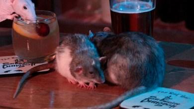 Abren bar donde los clientes pueden convivir con ratas mientras se embriagan