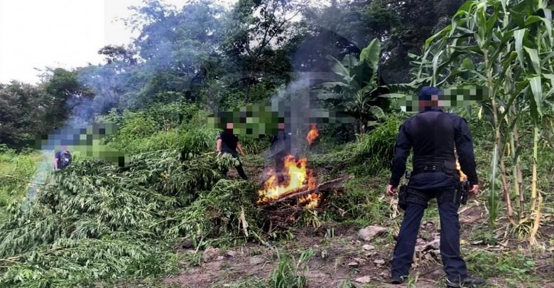 Destruyen Policía Michoacán y Municipal más de 3 mil plantas de marihuana, en Tuzantla