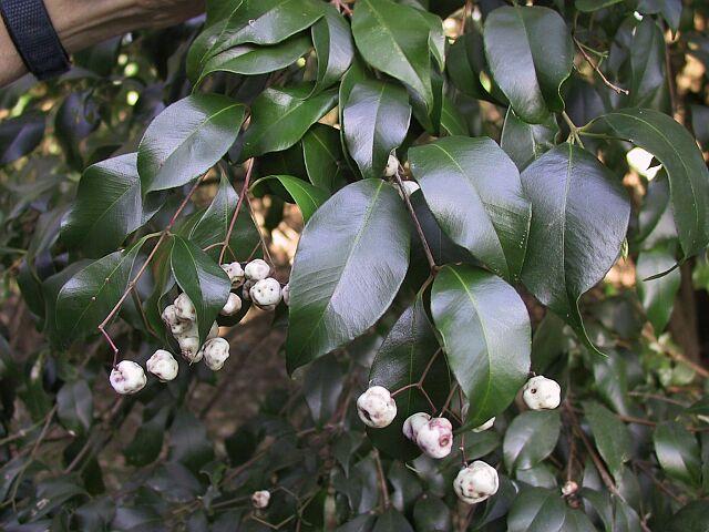 Syzygium smithii (Acmena, monkey apple)