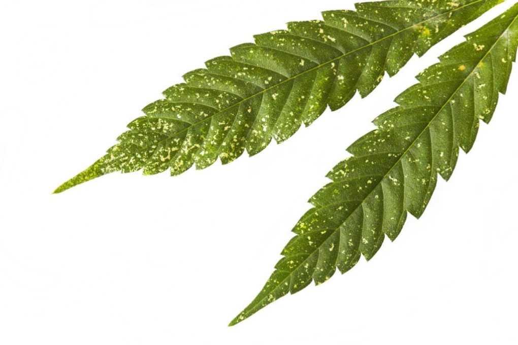 Parassiti Prevenire Infestazioni Coltivazioni Cannabis Light